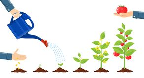 Growth of plant in pot, from sprout to vegetable. Planting tree. Seedling gardening plant. Timeline. Vector illustration in flat style Stock Images