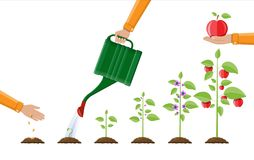Growth of plant, from sprout to fruit. Planting tree. Seedling gardening plant. Timeline. Vector illustration in flat style Stock Photography