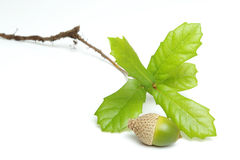 Growth Potential. Acorn and oak sapling on white background Royalty Free Stock Image