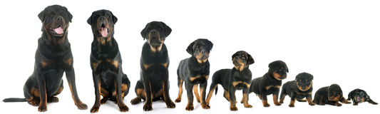 Growth of puppy rottweiler. In front of white background Royalty Free Stock Photography