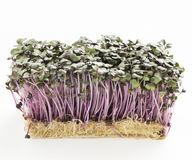 Growth purple garden cress isolated on a white background Stock Photo