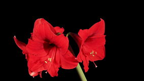 Growth of red hippeastrum flower buds ALPHA matte, FULL HD Stock Photos