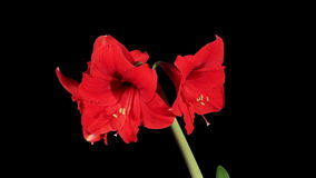 Growth of red hippeastrum flower buds ALPHA matte, FULL HD Royalty Free Stock Photo