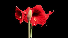 Growth of red hippeastrum flower buds ALPHA matte, FULL HD. Stock Photo