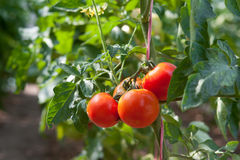 Growth red tomato Royalty Free Stock Images
