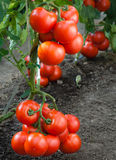 Growth red tomato Royalty Free Stock Photography