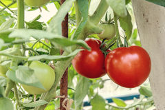 Growth red tomato in greenhouse Royalty Free Stock Photos