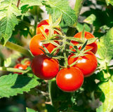 Growth red tomato. Royalty Free Stock Images