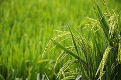 Growth of Rice. Eastphoto, tukuchina, Growth of Rice, Plant, capture shot Royalty Free Stock Photography