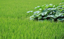 The growth of rice and lotus root Royalty Free Stock Photo