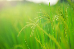 Growth of Rice spike Royalty Free Stock Images