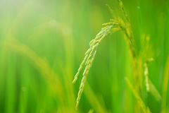 Growth of Rice spike. In the field.Soft focus on rice grains Royalty Free Stock Photography