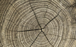 Growth rings. Of a fallen tree Royalty Free Stock Image