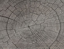 Growth Rings - Tree Rings - Annual Rings. Hi-res cross section cut of tree showing growth rings (tree rings, annual rings Royalty Free Stock Image