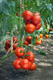 Growth ripe tomato Royalty Free Stock Image