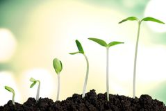 Growth. Seedling Plant Sowing Bean Dirt Stock Images