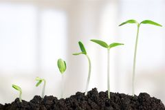 Growth. Seedling Plant Sowing Bean Dirt Nature Stock Photos