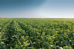 Growth soybean Royalty Free Stock Images