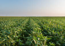 Growth soybean Stock Photos