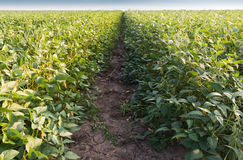 Growth soybean Royalty Free Stock Photo