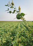 Growth soybean Royalty Free Stock Photography