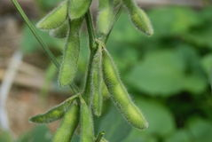 The growth of soybean Stock Photography