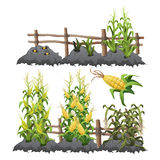 Growth stages of corn, agriculture Royalty Free Stock Photography