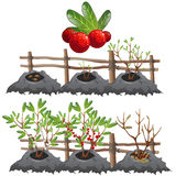 Growth stages of cranberries, agriculture, vector. Planting, growing and harvesting cranberries Stock Image