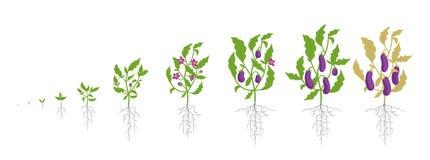 Growth stages of eggplant plant. Vector illustration. Solanum melongena. Aubergine, brinjal life cycle. Botanically. Infographic on white background. Plant royalty free illustration