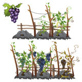 Growth stages of grapes, agriculture, vector Royalty Free Stock Photo