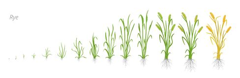 Free Growth Stages Of Rye Plant. Cereal Increase Phases. Vector Illustration. Secale Cereale. Ripening Period. Rye Grain Life Stock Photography - 141786562