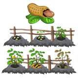 Growth stages of peanuts, agriculture, vector Royalty Free Stock Image