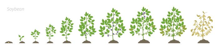 Growth stages of Soybean plant. Soya bean phases set ripening period. Glycine max life cycle, animation progression. Growth stages of Soybean plant. Soya bean stock illustration