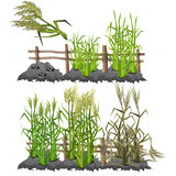 Growth stages of sugarcane, agriculture, vector Royalty Free Stock Photography