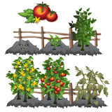 Growth stages of tomatoes, agriculture, vector Stock Photography
