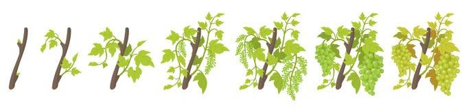 Growth stages of vine grape plant. Vineyard planting phases. Vector illustration. Vitis vinifera harvested. Ripening period. Vine. Growth stages of grape plant vector illustration