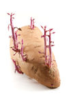 Growth on a sweet potato Royalty Free Stock Image