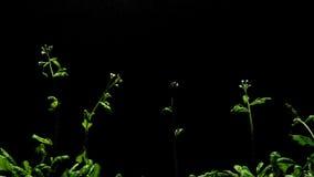Growth of thale cress (Arabidopsis thaliana) stock video