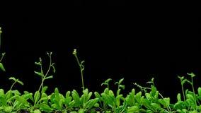 Growth of thale cress (Arabidopsis thaliana) stock footage