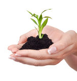Growth theme. Young green plant in hands- isolated on white Royalty Free Stock Photos