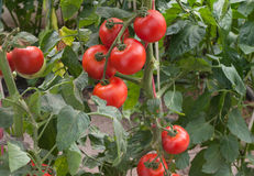 Growth tomato Royalty Free Stock Image