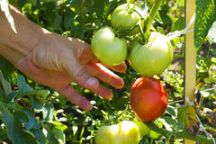 Growth tomato Stock Images
