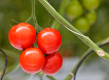 Growth of tomato plants inside a greenhouse Royalty Free Stock Image