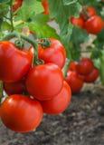 Growth tomato Stock Photo