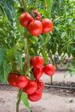 Growth tomato Royalty Free Stock Photo