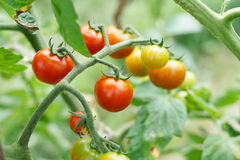 Growth tomatoes Royalty Free Stock Images