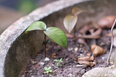 Growth of trees in clay pots stock photos