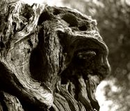 Growth on the trunk of old olives in the Italian Apulia. Black & white photo, day, Apulia, Italy, Europe, olive, trunk, tree, old, plant, view, lanscape, outdoor Stock Photography