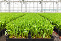 Growth of tulips in a Dutch greenhouse Royalty Free Stock Images