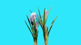 Growth of violet crocuses flower buds ALPHA matte stock footage